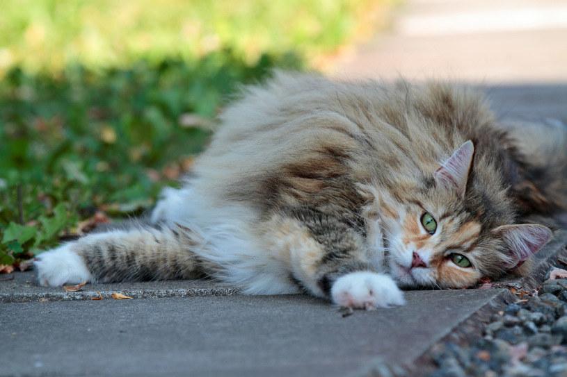 Mruczenie kota może wspomóc m.in. regenerację ścięgien /123RF/PICSEL