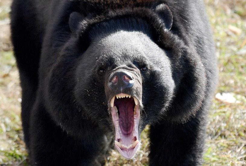 Mściwe zwierzę przy trzech metrach wzrostu ważyło aż 380 kilogramów / Yuri Smityuk / Contributor /Getty Images