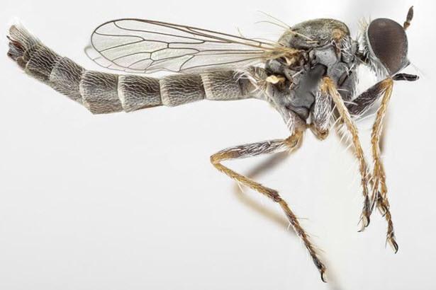 Mucha-zabójca z rodziny łowikowatych (Asilidae) /materiały prasowe