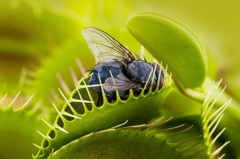 Muchołówka zjada owady /©123RF/PICSEL