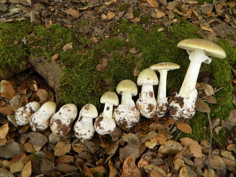 Muchomor sromotnikowy to jeden z najbardziej toksycznych grzybów w Polsce /This image is Image Number 177883 at Mushroom Observer, a source for mycological images., CC BY-SA 3.0 /Wikimedia