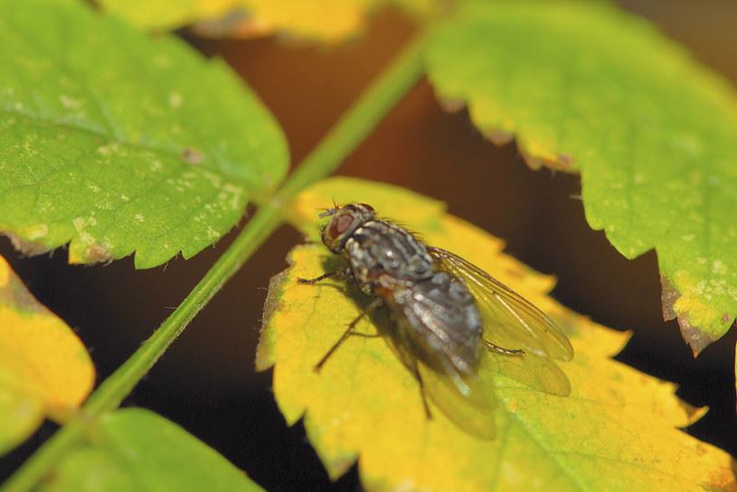 Muchy domowe mogą być źródłem szkodliwych patogenów /© Glowimages