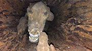 Mumia w pniu drzewa. Takiego znaleziska się nie spodziewali!