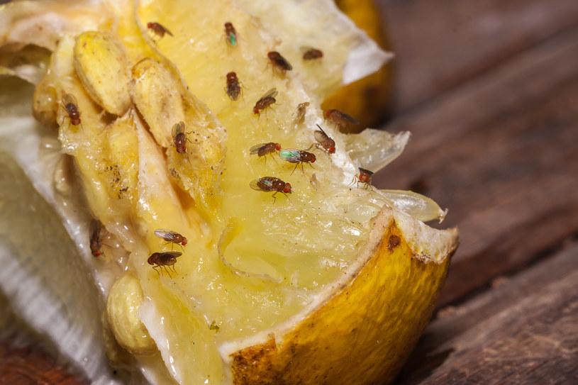 Muszki owocówki w kuchni - jak się ich pozbyć? /123RF/PICSEL