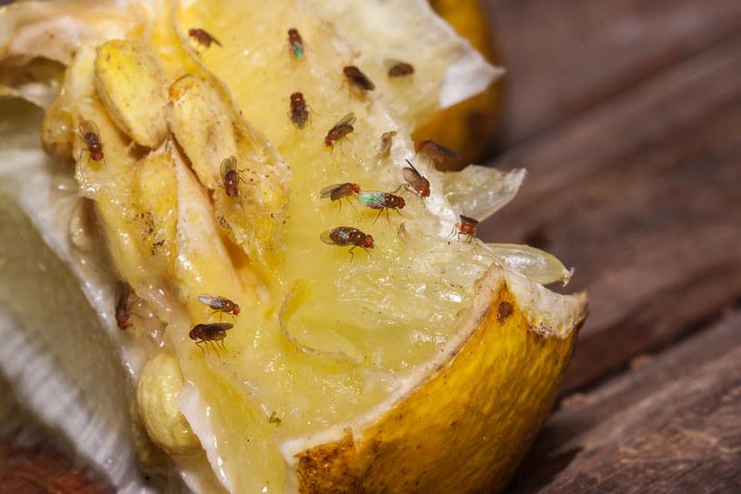 Muszki owocówki /©123RF/PICSEL