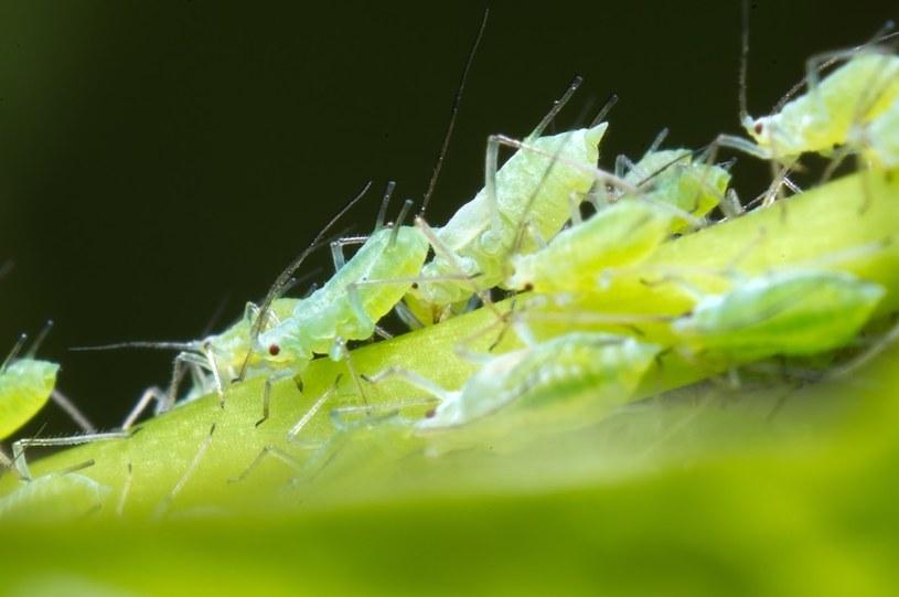 Mydło potasowe jest najskuteczniejsze w walce z mszycami /123RF/PICSEL