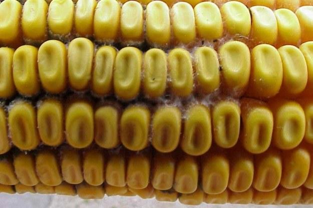 Mykotoksyny to substancje wytwarzane przez grzyby atakujące m.in. kukurydzę /AFP