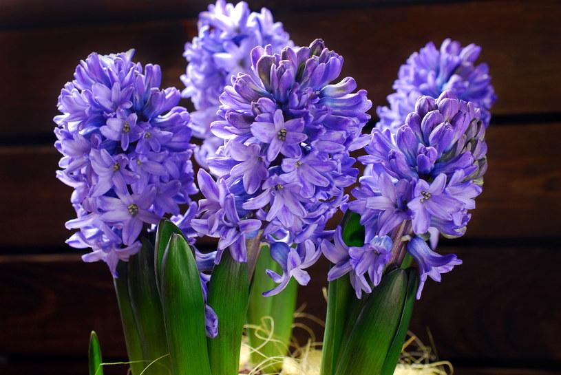 Myślisz, że hiacynt kwitnie tylko wiosną? Okazuje się, że wcale nie musi tak być /123RF/PICSEL
