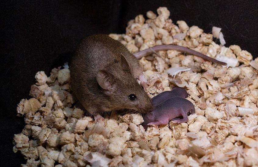 Mysz (córka dwóch samic) ze swoim własnym potomstwem /Leyun Wang /Materiały prasowe