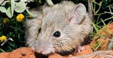 Mysz, która miała wyginąć 150 lat temu... jednak nie wyginęła