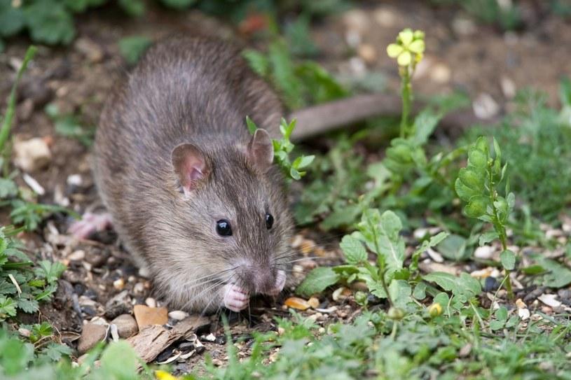 Mysz potrafi uprzykrzyć życie /©123RF/PICSEL