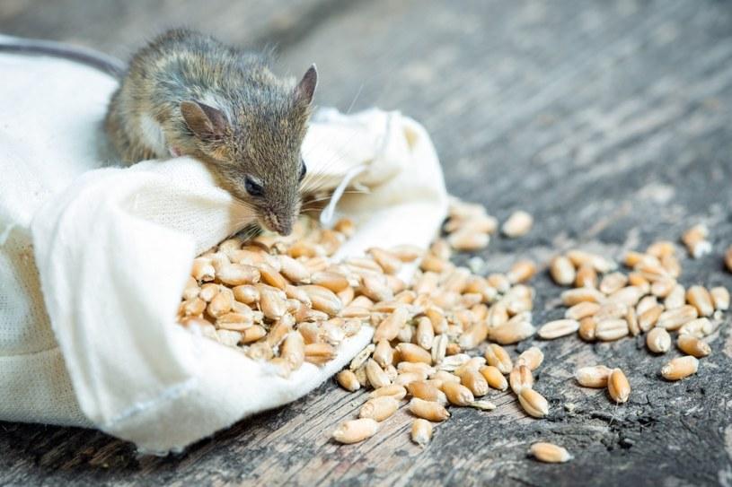 Mysz szuka w domach pożywienia /©123RF/PICSEL