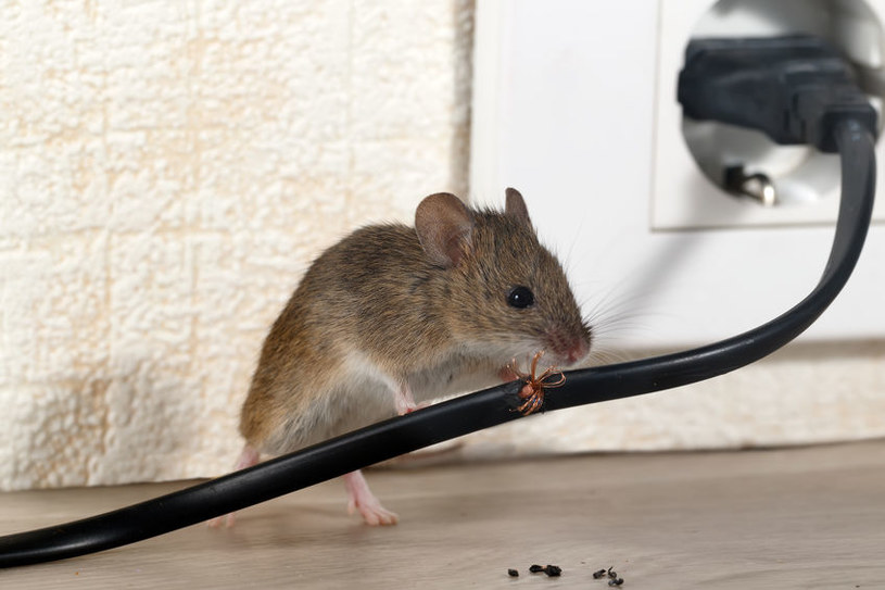 Mysz w domu /©123RF/PICSEL