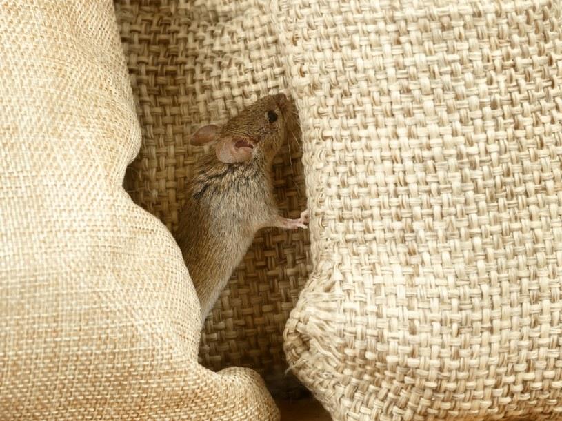Mysz wypędzić z domu nie jest łatwo /©123RF/PICSEL