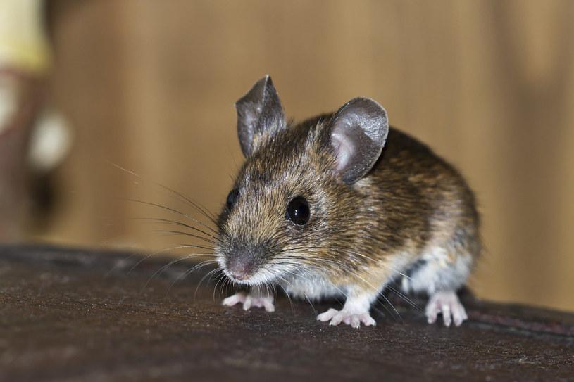 Mysz, zdjęcie ilustracyjne /123RF/PICSEL
