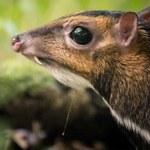 """Myszojeleń przyszedł na świat we wrocławskim zoo. """"Film wywołał sensację"""""""