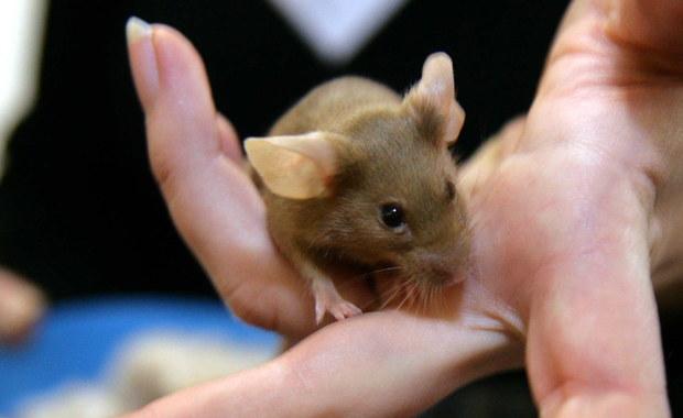 Myszy grasowały na stoisku z wypiekami. Biedronka się tłumaczy