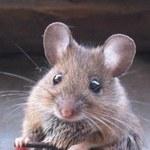 Myszy podejrzane o pożar, który zabił 100 kotów