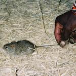 Myszy towarzyszą nam od 15 tysięcy lat