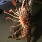Na Bermudach złowiono gigantyczną langustę