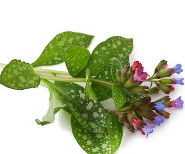 Na co pomoże miodunka plamista?