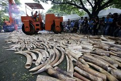 Na Filipinach zniszczono 5 ton skonfiskowanych kłów słonia