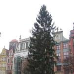 Na gdańskim Targu Nowym stanęła najwyższa choinka w Polsce