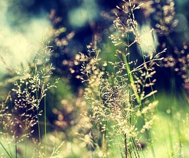 Na jakie rośliny uważać na łąkach latem?