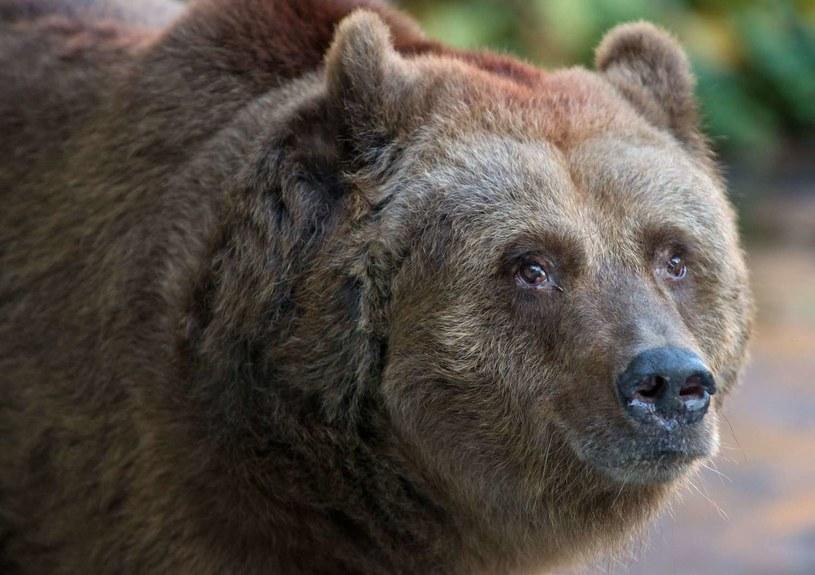 Na Kamczatce wprowadzono godzinę policyjną z powodu... ataków głodnych niedźwiedzi. /AFP