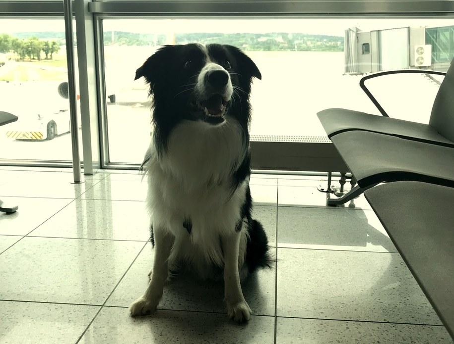 Na lotnisku w Krakowie podróżnych przed lotem uspokaja pies /Marek Wiosło /RMF FM