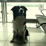 Na lotnisku w Krakowie podróżnych uspokaja pies