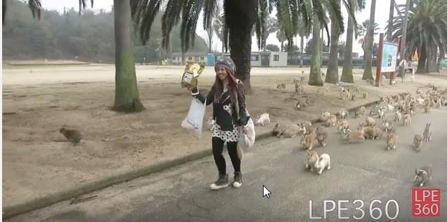 Na Okunoshimie ciężko nie spotkać jakiegoś królika /YouTube