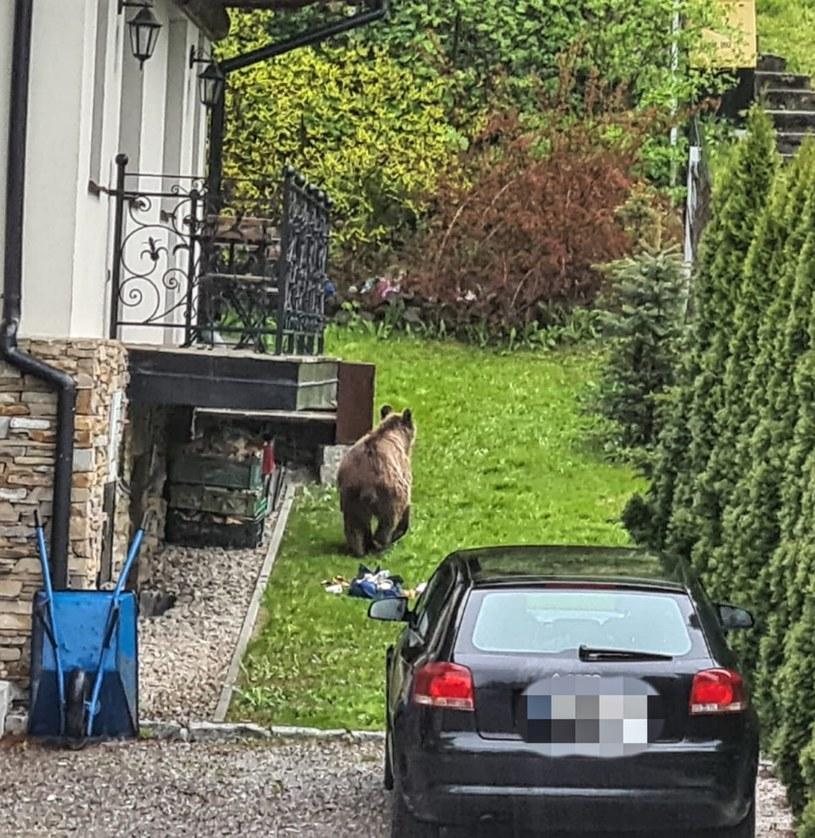 Na osiedlu w Zakopanem pojawił się niedźwiedź, który wyjadał resztki ze śmietników. /Policja Zakopane /facebook.com