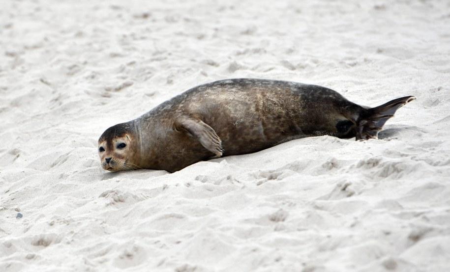Na plaży w Międzyzdrojach wypoczywa foka pospolita / Marcin Bielecki    /PAP