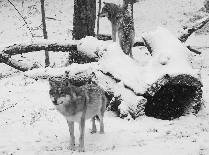Na początku 1978 roku podjęto decyzję o odstrzale wilków /AFP
