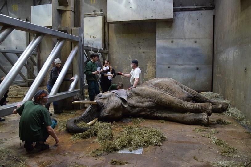 Na początku lutego poznańskie zoo poinformowało, że słonica Linda jest w bardzo ciężkim stanie /Facebook / Zoo Poznań Official Site /facebook.com