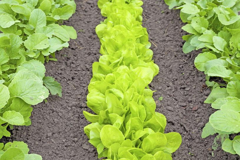 Na początku uprawa potrzebuje dużo światła. Gdy jednak sałata podrośnie, zapewnijmy jej półcień, a w czasie upałów - nawet całkowicie zacieniajmy grządki /123RF/PICSEL