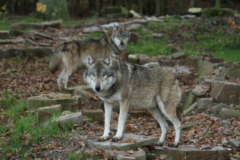 Na Podkarpaciu  żyje ponad 500 wilków, zdjęcie ilustracyjne /123RF/PICSEL