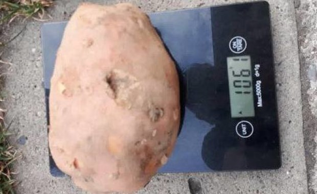 Na Pomorzu Zachodnim wyrosły warzywa-giganty