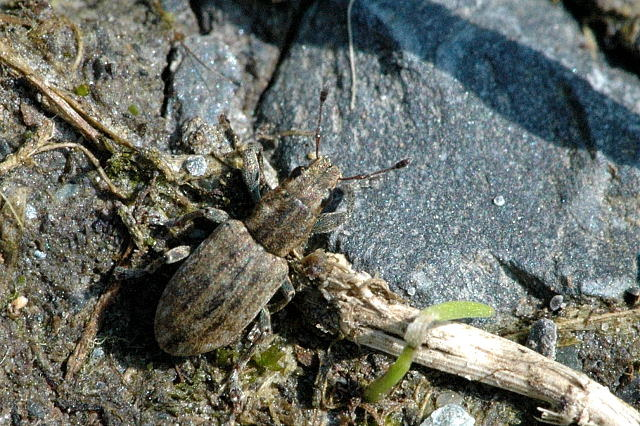 Na przykre owady narzekają zwłaszcza turyści /James Lindsey at Ecology of Commanster, CC BY-SA 3.0 /Wikimedia
