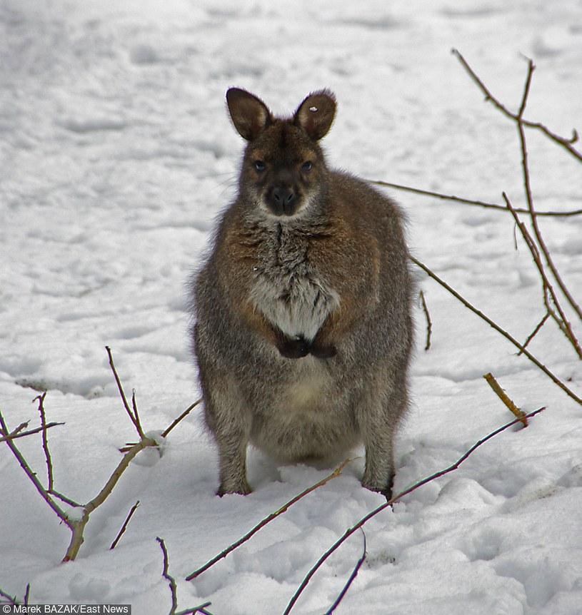 Na razie kangura nie udało się złapać  (zdj. ilustracyjne) / MAREK BAZAK  /East News