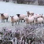 Na Sardynii nasilają się protesty hodowców owiec