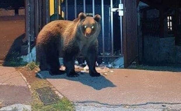 Na Słowacji jak na Alasce. Niedźwiedzie chodzą po ulicach