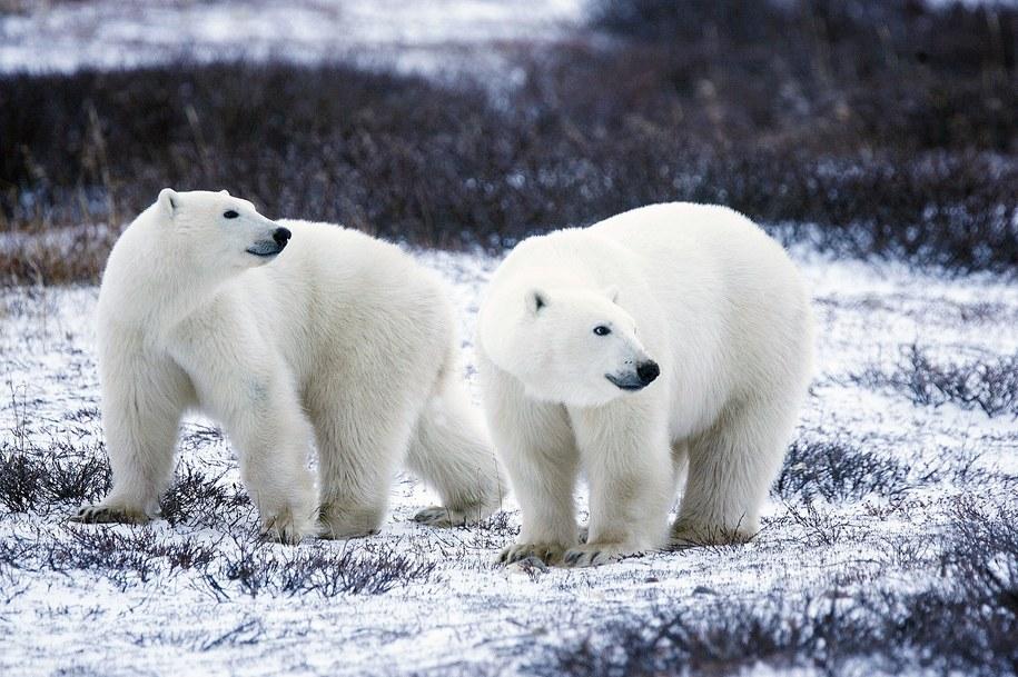Na świecie żyje w warunkach naturalnych ok. 26 tysięcy niedźwiedzi polarnych /foto. pixabay /