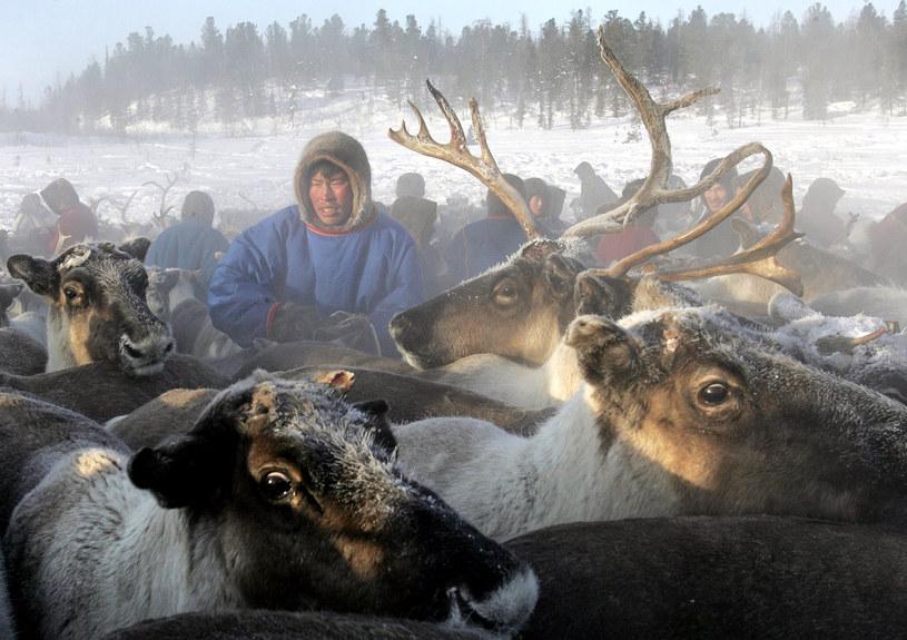 Na Syberii trwa przesiedlanie hodowców reniferów do namiotów w specjalnie stworzonych miasteczkach /TATYANA MAKEYEVA /AFP