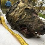 Na Syberii znaleziono głowę wilka sprzed 40 tysięcy lat