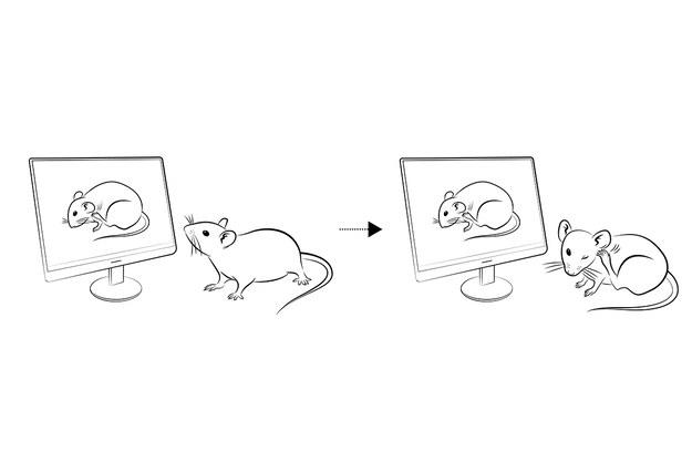Na widok drapiącej się myszy inna mysz natychmiast sama zaczyna się drapać /Washington University Center for the Study of Itch /materiały prasowe