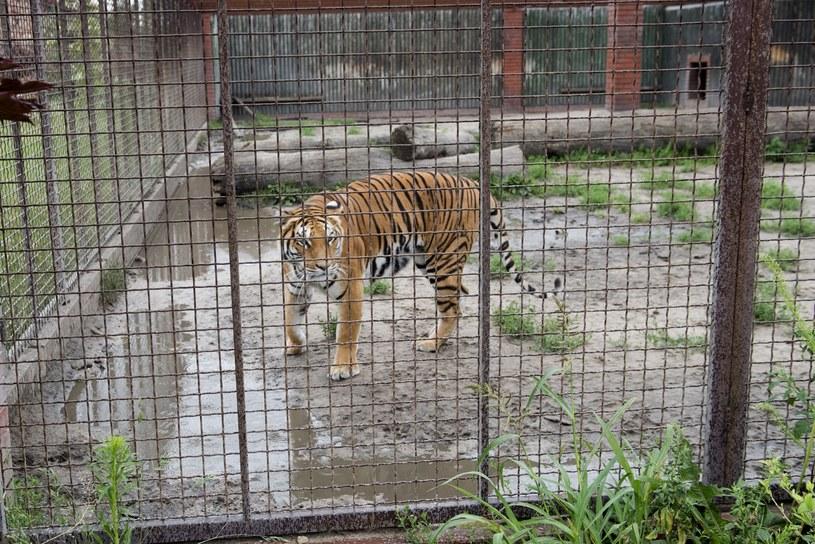 Na zdj. tygrys z hodowli w Pyszącej /Marek Lapis /Agencja FORUM