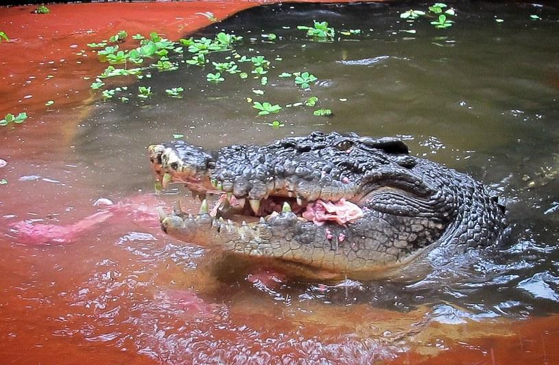 Na zdjęciu Cassius, największy krokodyl żyjący w niewoli /AFP /AFP