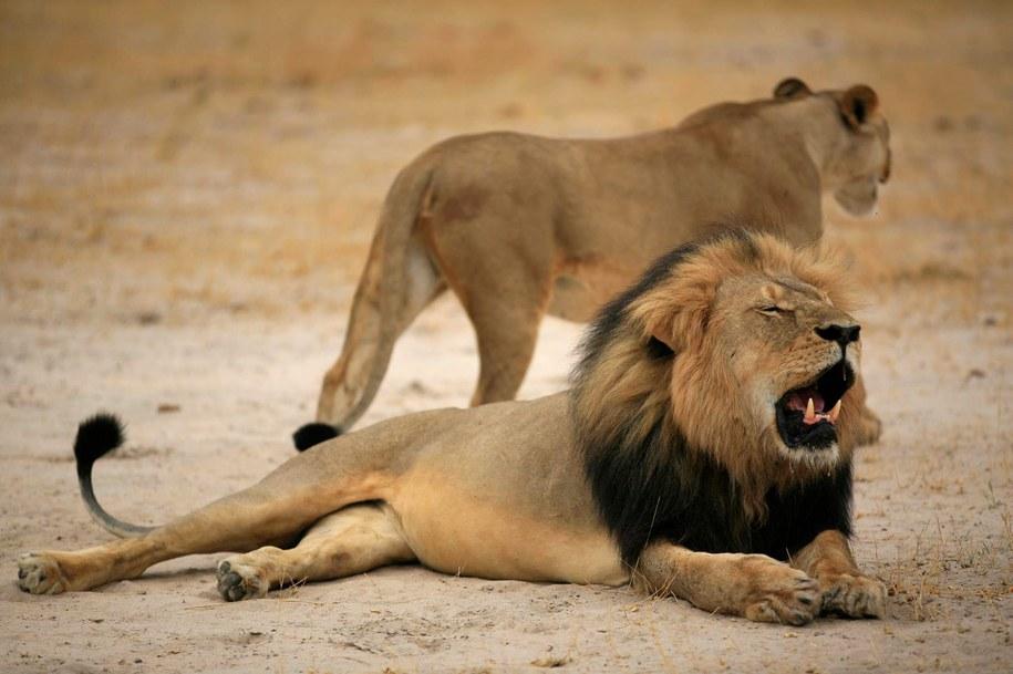 Na zdjęciu lew Cecil. Według nieoficjalnych informacji, jego brat również został zabity /ZIMPARKS   /PAP/EPA